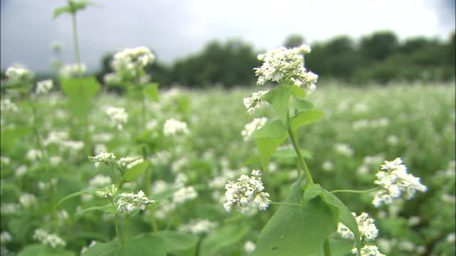 a breeze rustles buckwheat flowers in a meadow. - buckwheat stock videos & royalty-free footage