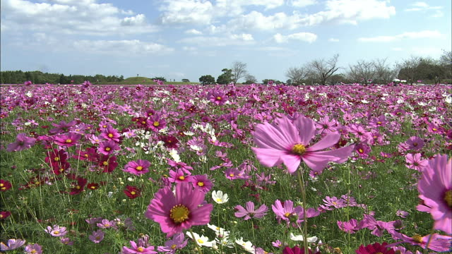 A breeze rustles pink, red and white cosmos in a field.