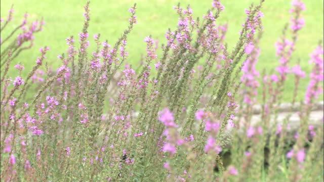 a breeze rustles purple loosestrife flowers. - shimane prefecture stock videos & royalty-free footage