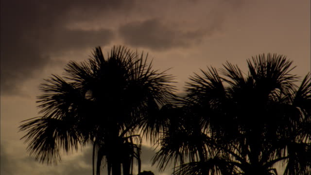 a breeze rustles silhouetted palm trees at sunset. - french guiana stock videos & royalty-free footage