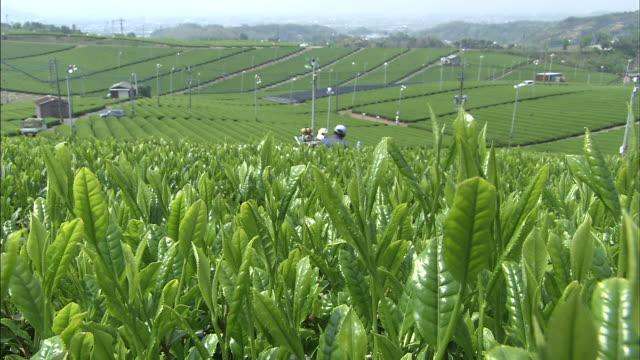 A breeze rustles tea leaves on a plantation.
