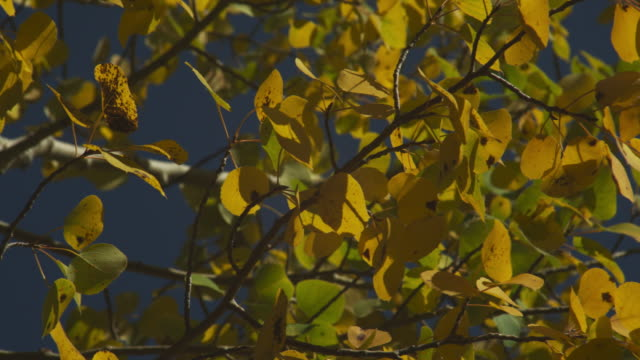 A breeze rustles the branches of a birch tree.