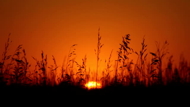 vidéos et rushes de a breeze rustles the grass in a field as the sun sets. - grandes plaines américaines