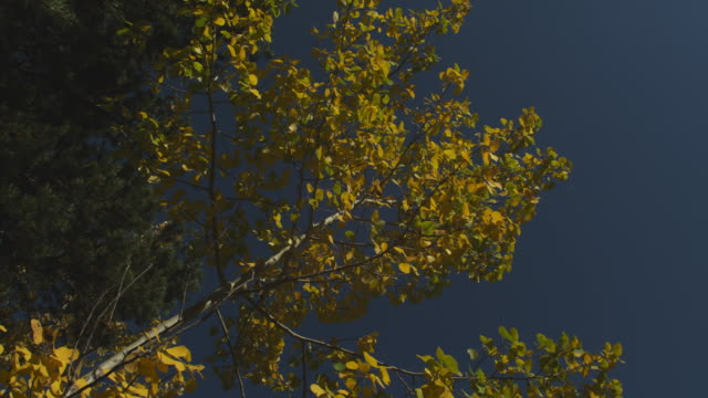 A breeze rustles the leaves of a birch tree.