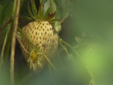 a breeze shakes leaves around an unripe strawberry. - unripe stock videos and b-roll footage
