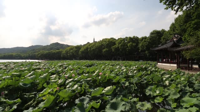 a breeze sways the leaves of sacred lotus on the west lake against the baochu pagoda,hangzhou,china - sacred lotus stock videos and b-roll footage