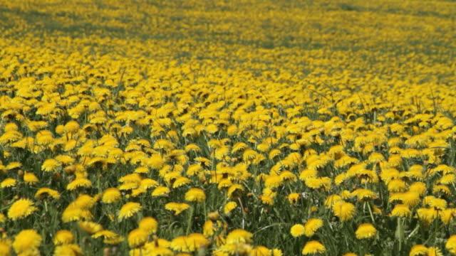 a breeze sweeps across a field of dandelions. - dandelion stock videos & royalty-free footage