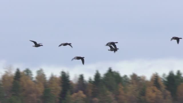 brent goose (branta bernicla) - eider duck stock videos & royalty-free footage