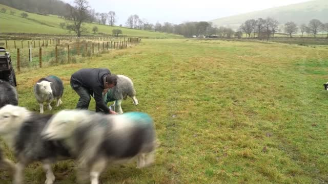 rewards for management of the environment to replace farm subsidies; uk, cumbria; sheep, cattle and trees being planted on farms where the protection... - politics点の映像素材/bロール