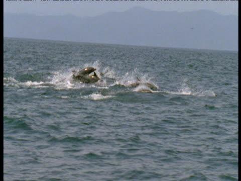 Bridled dolphin pod porpoises through ocean, Panama