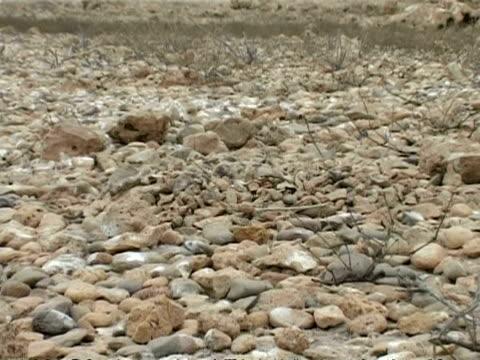 bridled tern, sterna anaethetus, camouflaged chick asleep on nest of stones, cu zoom out, oman - ペルシャ湾点の映像素材/bロール