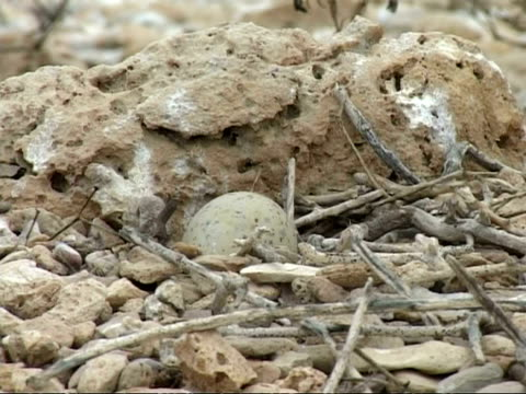 bridled tern, sterna anaethetus, egg camouflaged in nest, cu, oman - ペルシャ湾点の映像素材/bロール