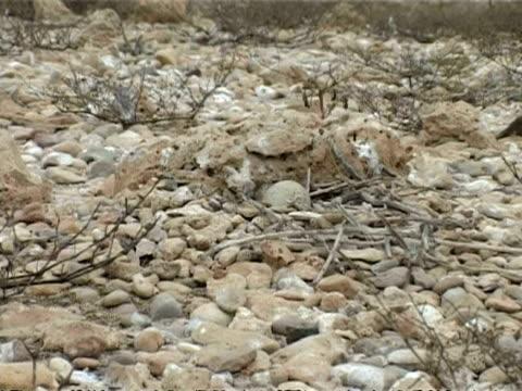 bridled tern, sterna anaethetus, egg camouflaged in nest, cu zoom out, oman - ペルシャ湾点の映像素材/bロール