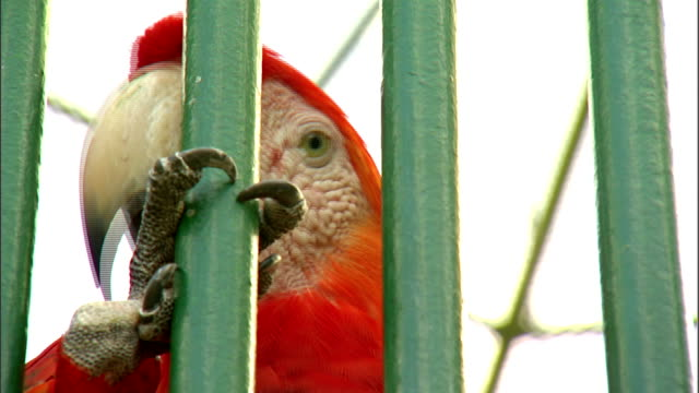 brief cu scarlet macaw face beak w/ claw holding onto vertical bar of public cage in plaza santiago palmer caged animal parrot tropical bird yellow... - scarlet macaw stock videos and b-roll footage