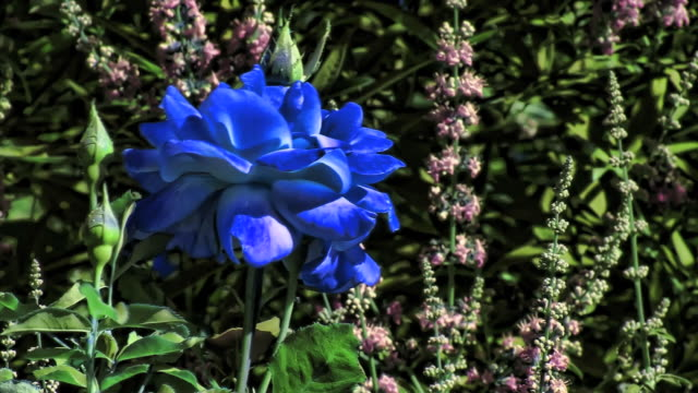 a bright blue rose moves in a gentle breeze. - digital enhancement stock videos and b-roll footage