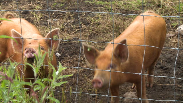 bright brown hogs sniffing the air - pig stock videos & royalty-free footage