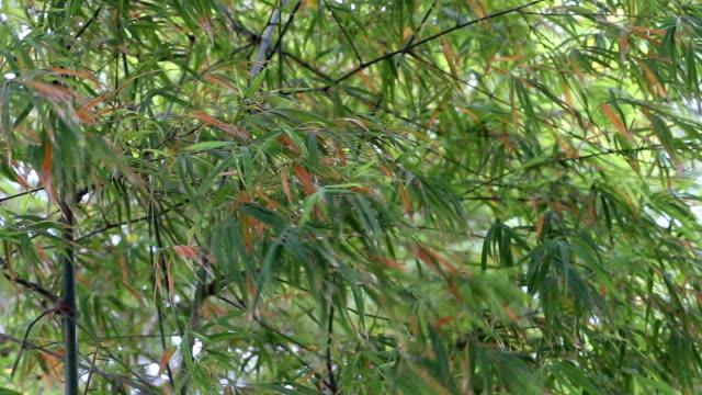 vídeos de stock, filmes e b-roll de bambu árvore verde brilhante na área rural e o vento sopra. - folha de bambu