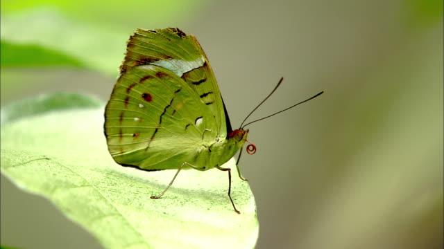 a bright green butterfly curls its proboscis as it perches on a leaf. - gliedmaßen körperteile stock-videos und b-roll-filmmaterial