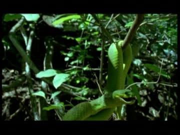 ms, td, bright green snake hanging in tree, komodo national park, komodo island, east nusa tenggara, indonesia - viper stock videos & royalty-free footage