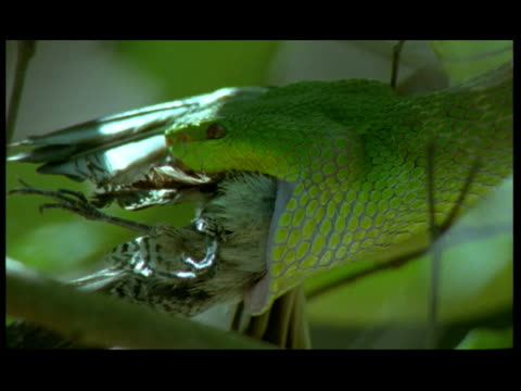 vidéos et rushes de cu, bright green snake hanging in tree, swallowing bird, komodo national park, komodo island, east nusa tenggara, indonesia - bouche ouverte