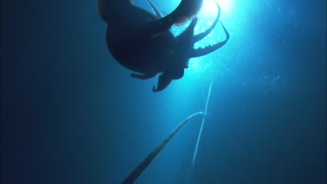 a bright light silhouettes a squid tied to a fishing line as bait. available in hd. - fishing line stock videos & royalty-free footage