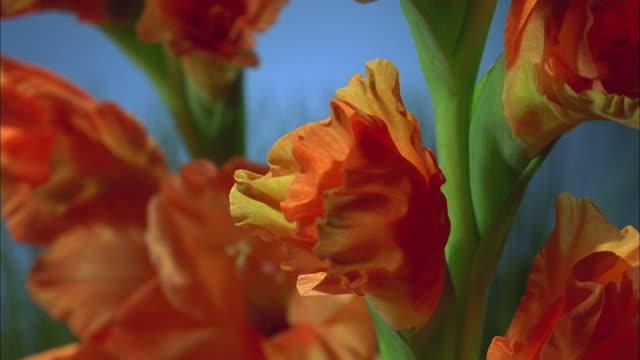 bright orange flowers blossoming, north america available in hd. - staubblatt stock-videos und b-roll-filmmaterial
