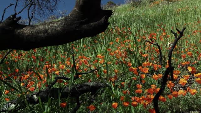 bright orange poppies bloom in a grassy meadow. - wildflower stock videos & royalty-free footage