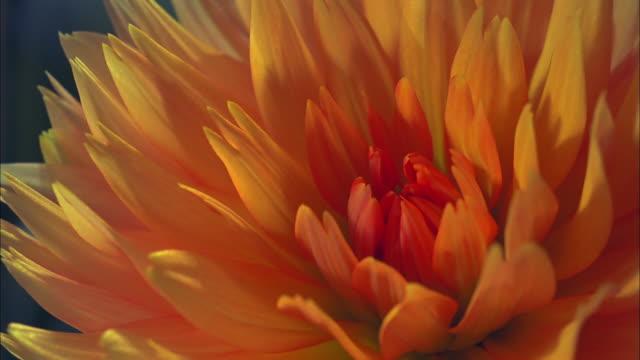 bright orange-yellow chrysanthemum blooms, north america available in hd. - chrysanthemum stock videos & royalty-free footage