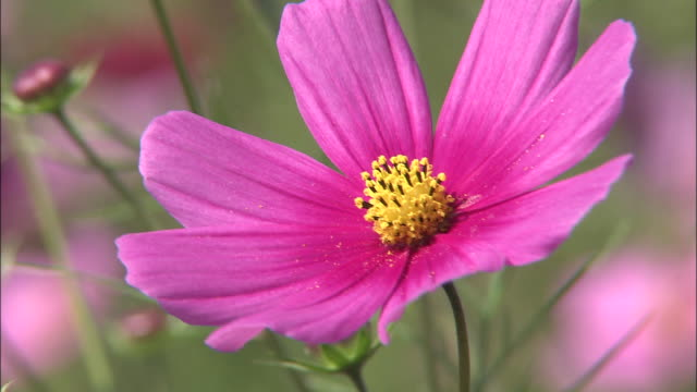 A bright pink cosmos flower trembles in a breeze.