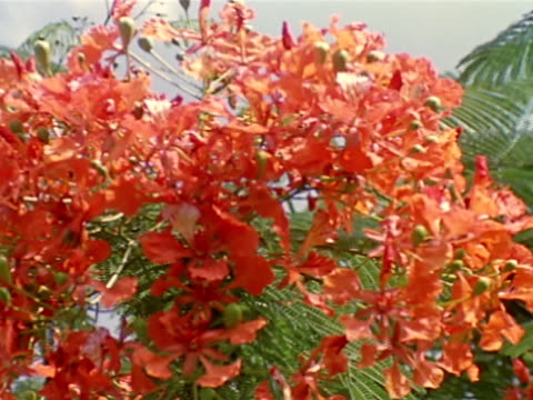 bright red cluster of flowers ws pan central american lush savannah tall green grasses trees bg - nosy stock videos and b-roll footage