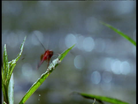 bright red dragonfly perched on leaf, brazil - dragonfly stock videos & royalty-free footage