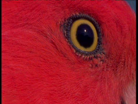 bright red parakeet's yellow eye, colourful. - blinking stock videos & royalty-free footage