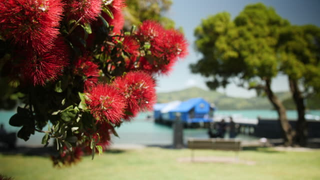 bright red pohutukawa flowers on a sunny day by the sea - akaroa stock videos & royalty-free footage