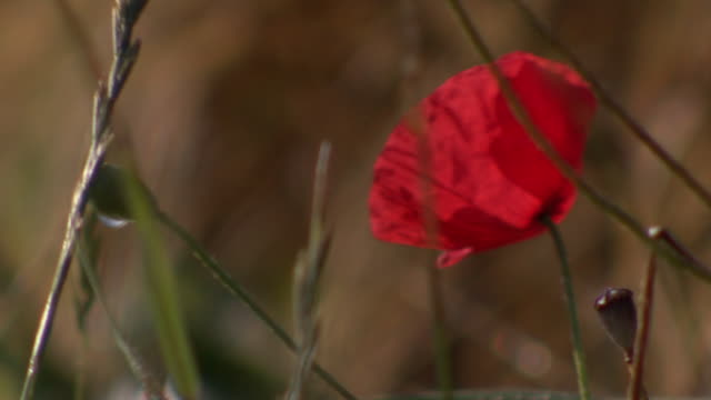 a bright red poppy growing in fields of the somme waves in a strong breeze. - dead plant stock videos & royalty-free footage