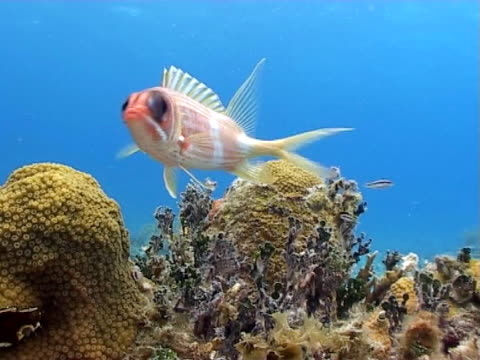 MCU bright red squirrel fish moving in current  huge eyes on reef against blue water