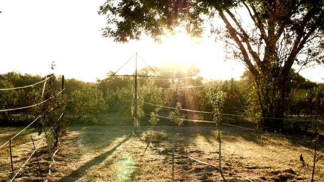 Bright sun rays shining down on new trees in apple orchard