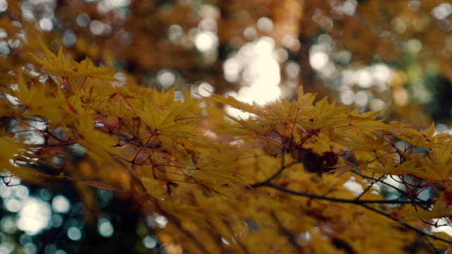 bright sun through yellow maple leaves - maple leaf stock videos and b-roll footage