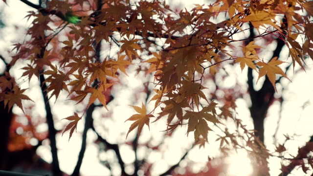 bright sun through yellow maple leaves - maple stock videos & royalty-free footage