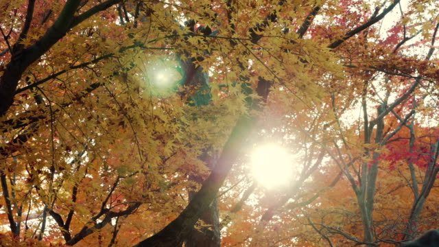 Bright sun through yellow maple leaves