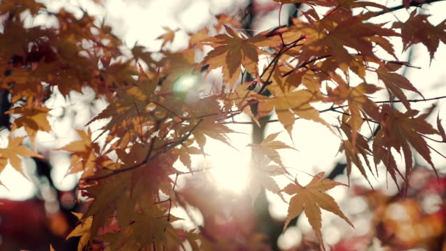 bright sun through yellow maple leaves - le quattro stagioni video stock e b–roll