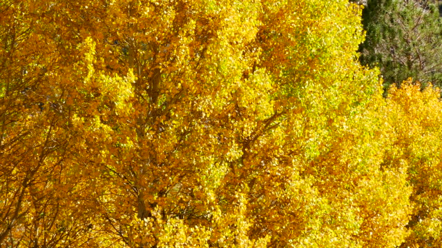 4k - bright yellow autumn leaves blowing in the breeze - ネイチャーズウィンドウ点の映像素材/bロール