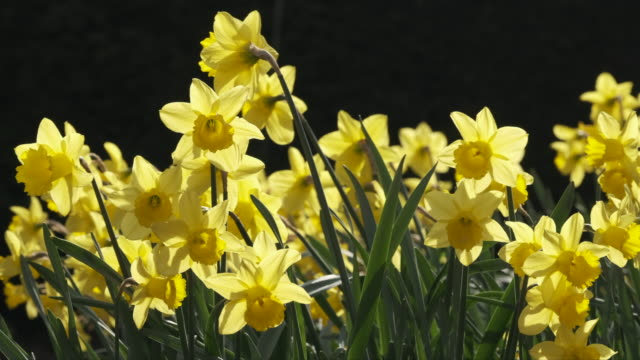 bright yellow daffodils - daffodil stock videos & royalty-free footage