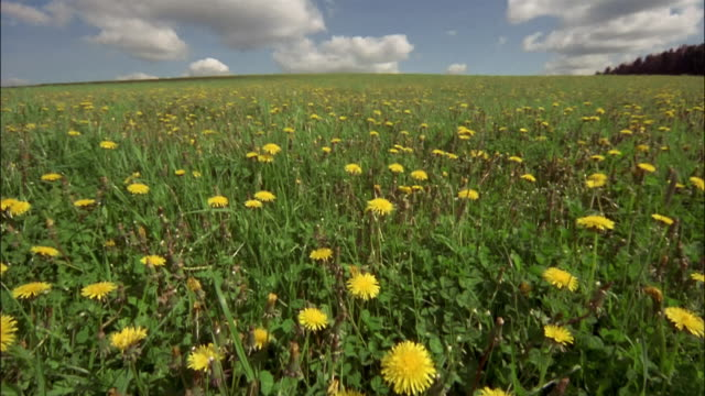 Bright yellow dandelions bloom under a blue sky.