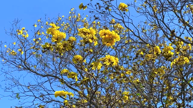 bright yellow flame tree flowers against blue sky - flower head stock videos & royalty-free footage