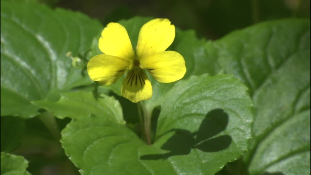 a bright yellow flower protrudes from its leaves on mount chokai in japan. - 鳥海山点の映像素材/bロール