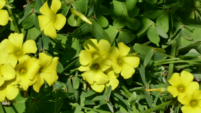 4k bright yellow flowers and green leaves on a bermuda buttercup plant zoom in to show orange centers - 4k resolution stock videos & royalty-free footage
