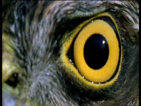 Bright yellow piercing eyes of a sparrow hawk