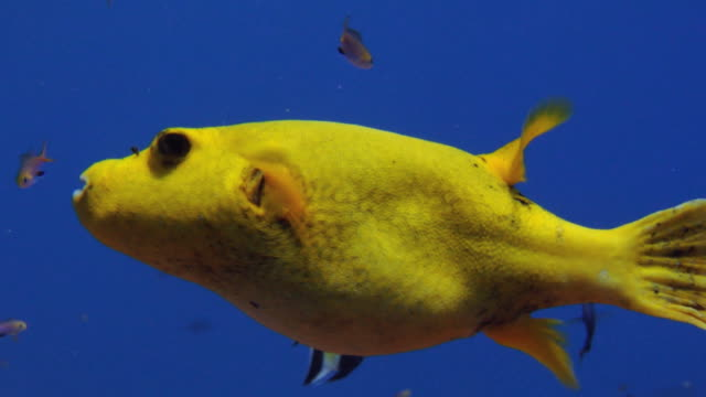 / bright yellow pufferfish slowly swimming through blue water