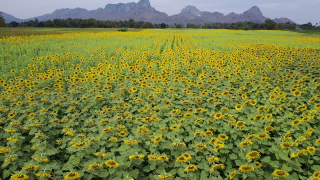 bright yellow sunflower at wat khao jeen lae,  lopburi, thailand - sunflower stock videos & royalty-free footage