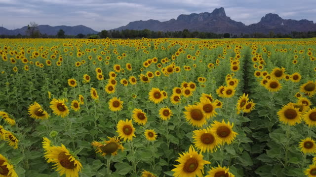 bright yellow sunflower at wat khao jeen lae,  lopburi, thailand - sunflower stock videos and b-roll footage